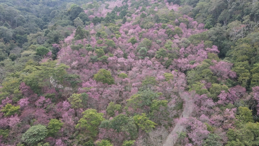 Wild cherry blossoms blooming in the mountains Drone footage shows some of the mountain's colors turning pink. | Shutterstock HD Video #1080986444