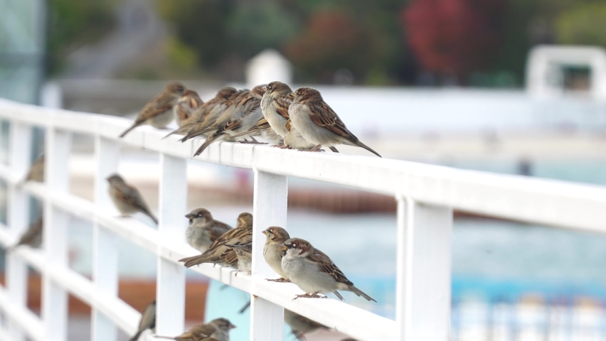 Sparrows sit on a white rail  | Shutterstock HD Video #1081043942