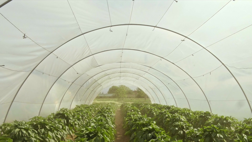 Organic and sustainable cultivation of plants in a greenhouse with white round nylon. Rows of plants grown in a greenhouse. The drone enters from one part of the greenhouse and exits from the other. | Shutterstock HD Video #1081060910