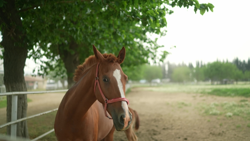 Mother and calf at racehorse farm in summer day. Brown mother horse standing behind fence at a horse farm, looking at camera with interest. slow motion.  | Shutterstock HD Video #1081060979