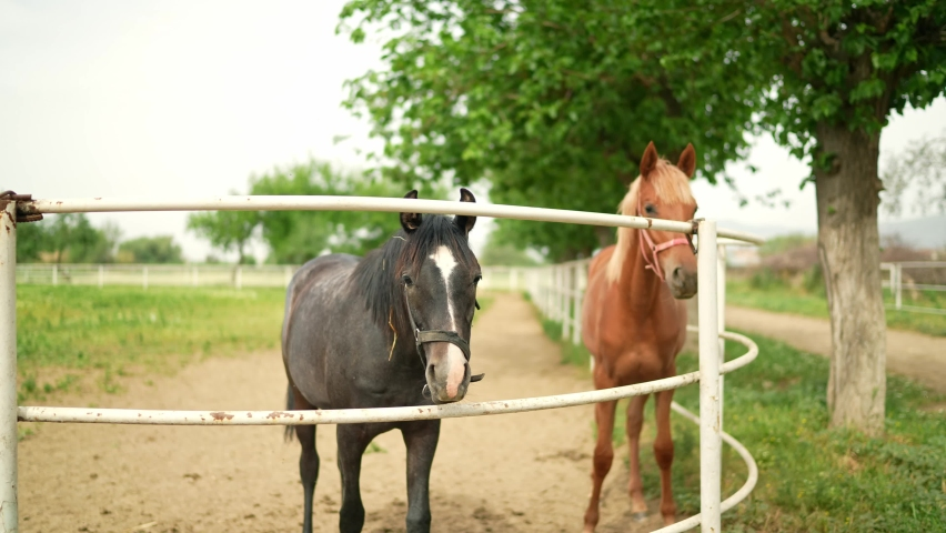 Horses at the racehorse farm in summer day. Brown and black horses standing behind the fence at a horse farm look at the camera with interest. slow motion.  | Shutterstock HD Video #1081060982