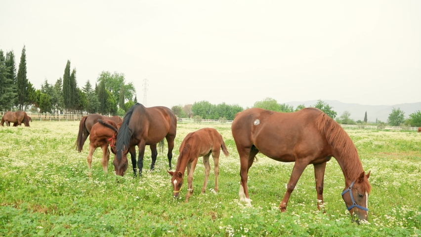 Horses at the racehorse farm in summer day. Brown horses standing behind the fence at a horse farm. Mother and baby horses are eating grass at the horse breeding farm. Slow motion. | Shutterstock HD Video #1081061021