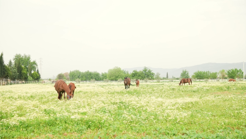 Horses at the racehorse farm in summer day. Brown horses standing behind the fence at a horse farm. Mother and baby horses are eating grass at the horse breeding farm. Slow motion. | Shutterstock HD Video #1081061045