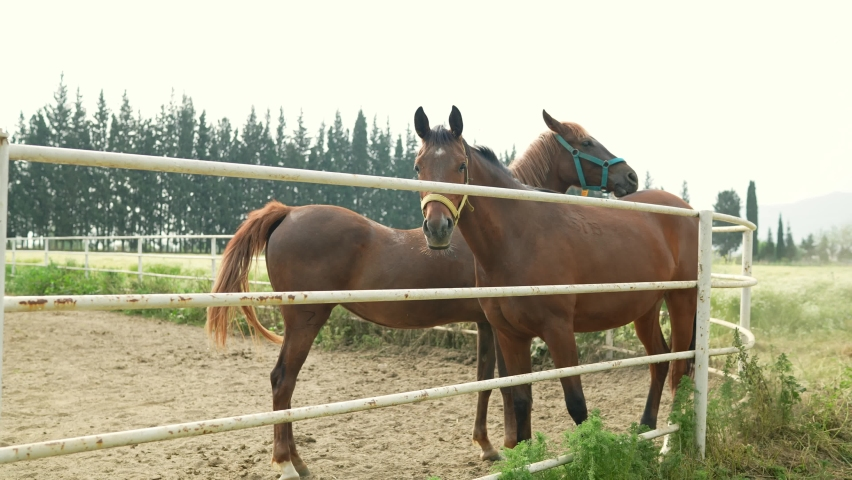 Horses at the racehorse farm in summer day. Brown horses standing behind the fence at a horse farm. Slow motion. | Shutterstock HD Video #1081061051