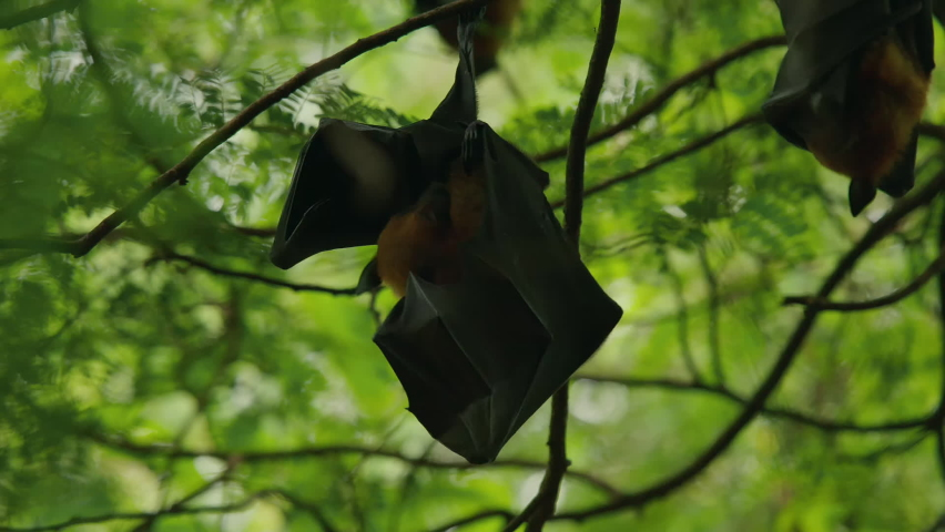 Lyle's Flying Fox or Pteropus lyleior hanging upside down from a small branch while sleeping during the day, Wat Pho Bang Khla, Chachoengsao, Thailand.  | Shutterstock HD Video #1081065635