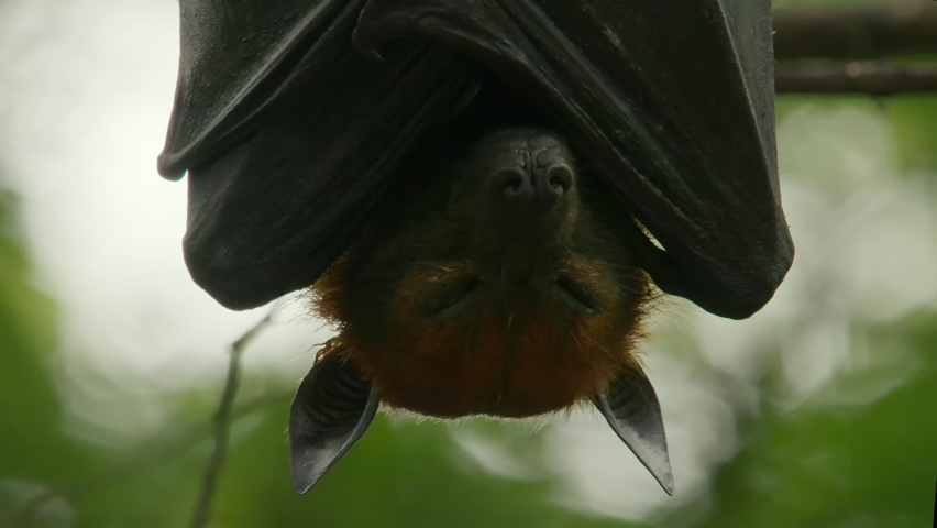 Lyle's Flying Fox or Pteropus lyleior hanging upside down from a small branch while sleeping during the day, Wat Pho Bang Khla, Chachoengsao, Thailand.  | Shutterstock HD Video #1081065644