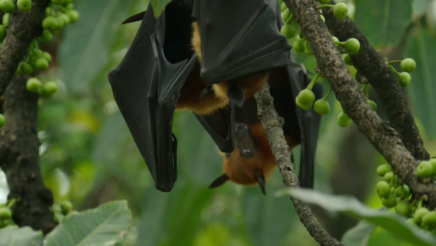 Lyle's Flying Fox or Pteropus lyleior hanging upside down from a small branch while sleeping during the day, Wat Pho Bang Khla, Chachoengsao, Thailand.  | Shutterstock HD Video #1081065650