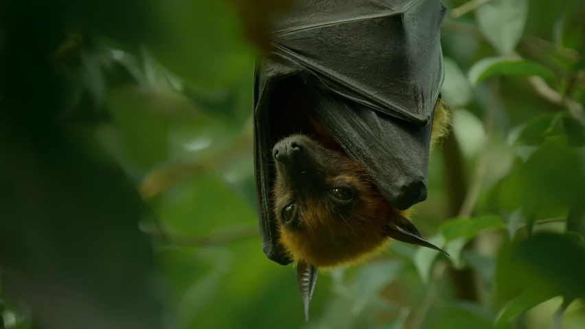 Lyle's Flying Fox or Pteropus lyleior hanging upside down from a small branch while sleeping during the day, Wat Pho Bang Khla, Chachoengsao, Thailand.  | Shutterstock HD Video #1081065656