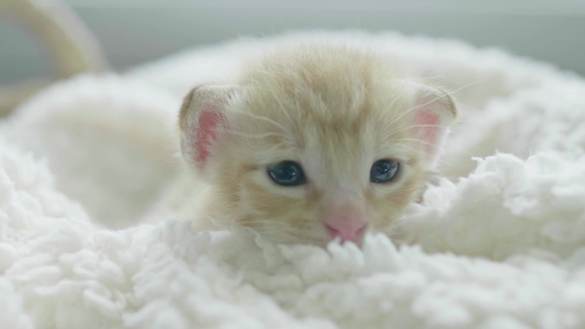 Cats are born with 24 whiskers—two sets of 12 whiskers arranged in four lines on each side of their face, according to Kornreich. While kittens have shorter whiskers that grow longer over time.  | Shutterstock HD Video #1081071809