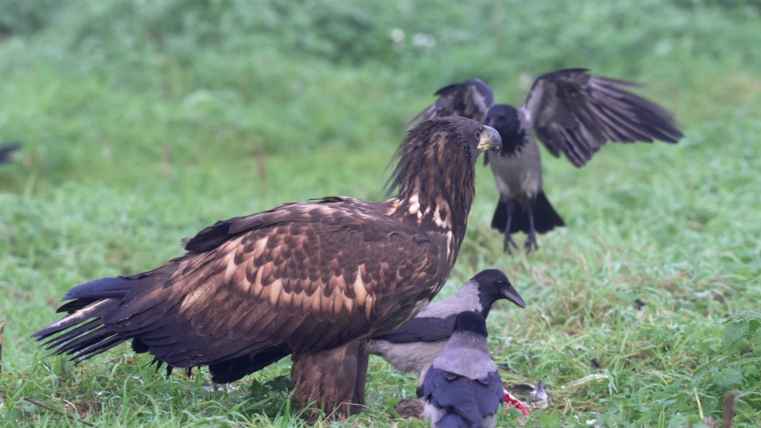 White-tailed eagle in its natural enviroment | Shutterstock HD Video #1081169540