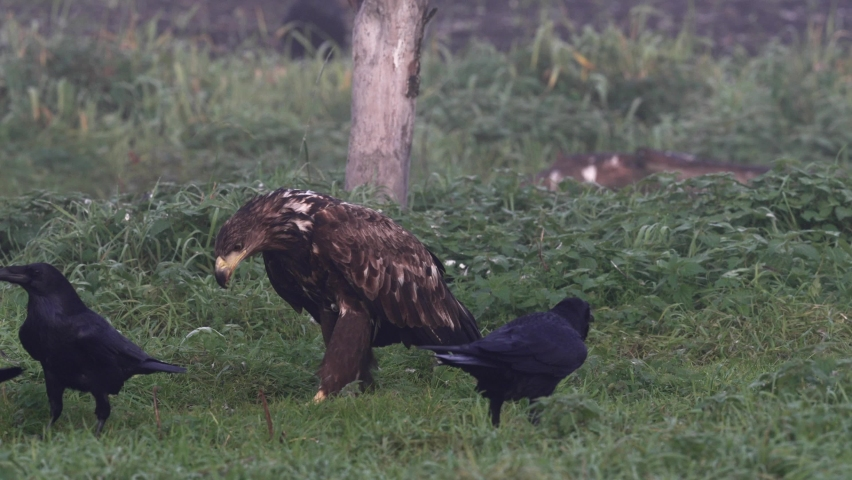 White-tailed eagle in its natural enviroment | Shutterstock HD Video #1081169543