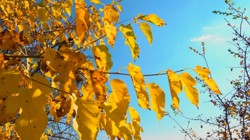 Yellow leaves of mulberry tree in autumn against blue sky background | Shutterstock HD Video #1081245401