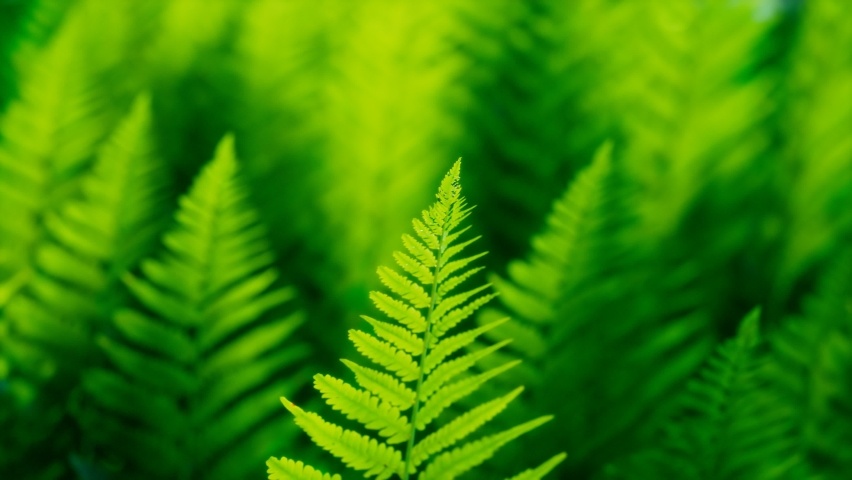 Seamless looping animation of green leaves of ferns moving on the wind. Natural forest's plants. Foliage from the tropical environment. Nature. Botany. Botanical garden. Perfect for science education | Shutterstock HD Video #1081258883