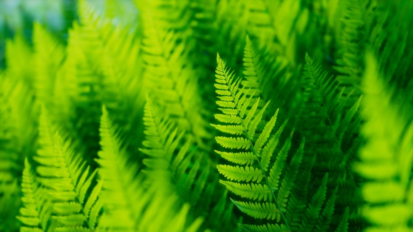 Seamless looping animation of green leaves of ferns moving on the wind. Natural forest's plants. Foliage from the tropical environment. Nature. Botany. Botanical garden. Perfect for science education | Shutterstock HD Video #1081258901