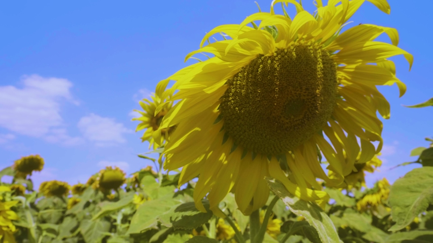 The video creation moves along the sunflower line out into the vast and beautiful sky. | Shutterstock HD Video #1081274981