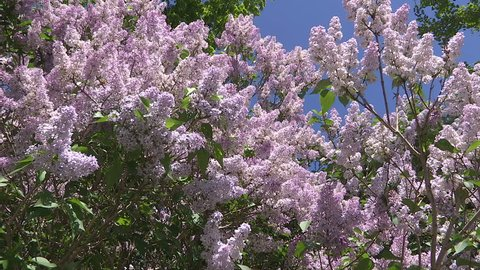 Waterloo, Ontario, Canada - May 2015 Lilac bushes in full bloom in the spring