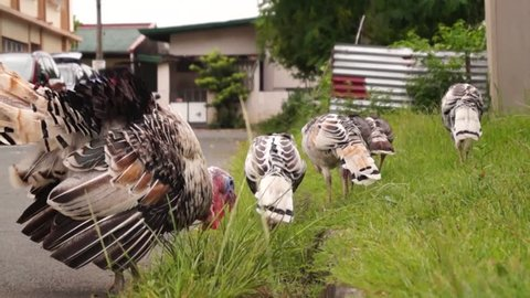 Group of turkeys grazing on side street grass