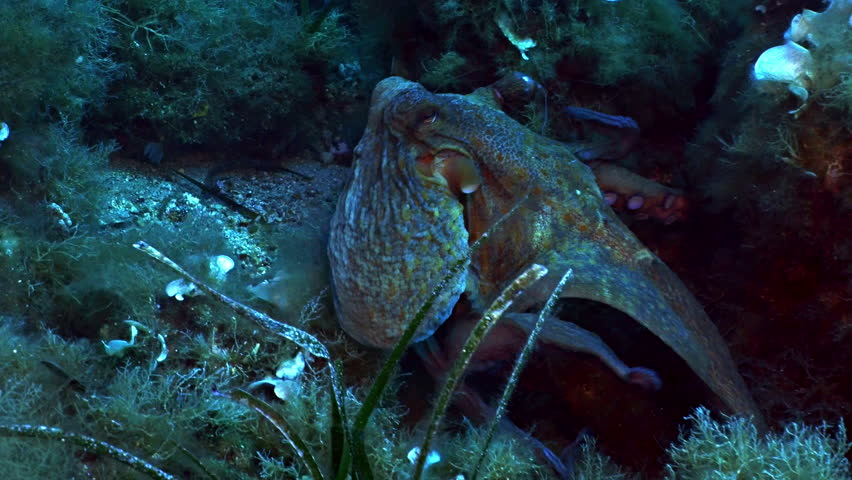 Octopus swimming over mediterranean reef landscape, slightly changes its colors, rests at the end of the shot, tracking shot | Shutterstock HD Video #10833563