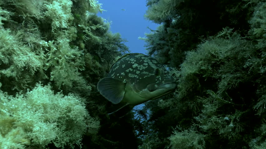 Under water close shot of Dusky Grouper, hiding in small crevice, grouper moves around, faces camera, turns away again, Mediterranean Sea   Shutterstock HD Video #10834355