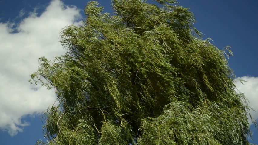 Babylon willow, Salix babylonica, in strong wind