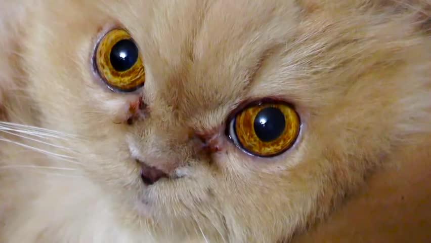 Close up persian cat eye