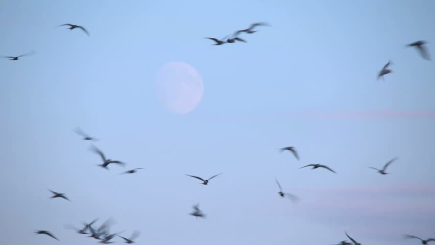 Arctic Tern kria flock birds swarming in front of rising moon, Iceland