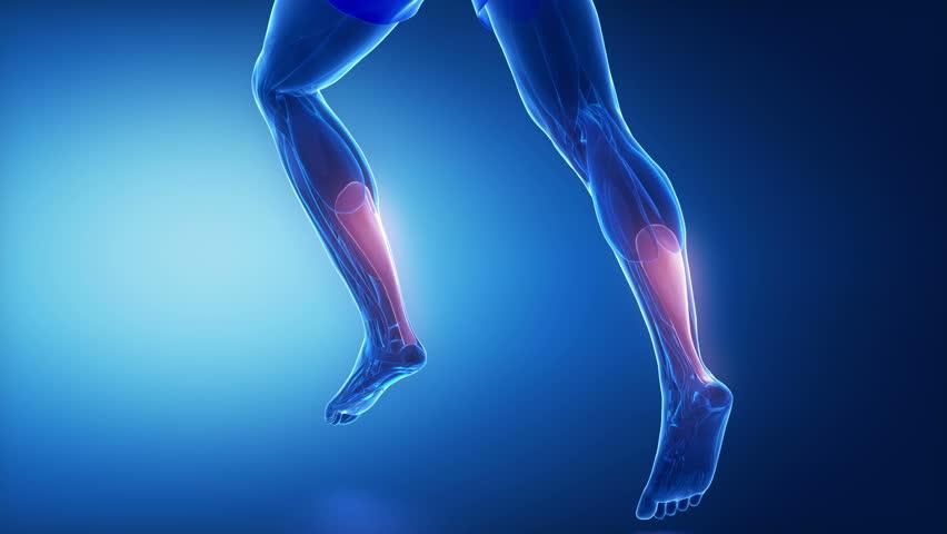 achilles tendon - leg muscles anatomy animation