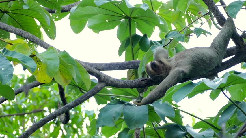 A three-toed sloth resting | Shutterstock HD Video #11074865