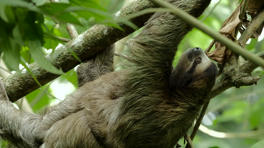Cute baby sloth holds onto its mother while she climbs around on a tree. | Shutterstock HD Video #11093465