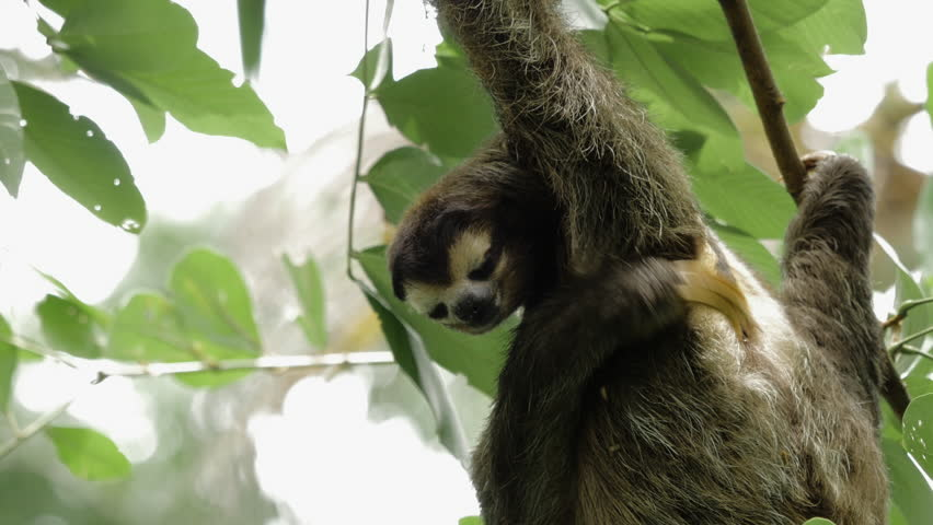 2 shots of a male three-toed sloth scratching his under arm | Shutterstock HD Video #11093492