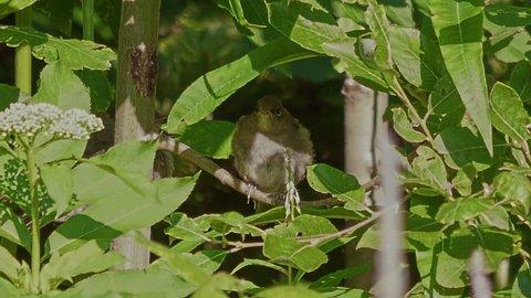 Song bird species - Blackcap (Sylvia atricapila). Juveniles.