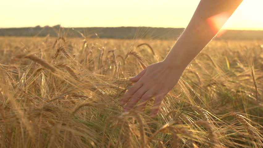 A young woman's hand running through wheat field. Girl's hand touching wheat ears close up.The time of sunset .The harvest concept. The harvesting. Slow-motion video at 240 frames per second. | Shutterstock HD Video #11094743