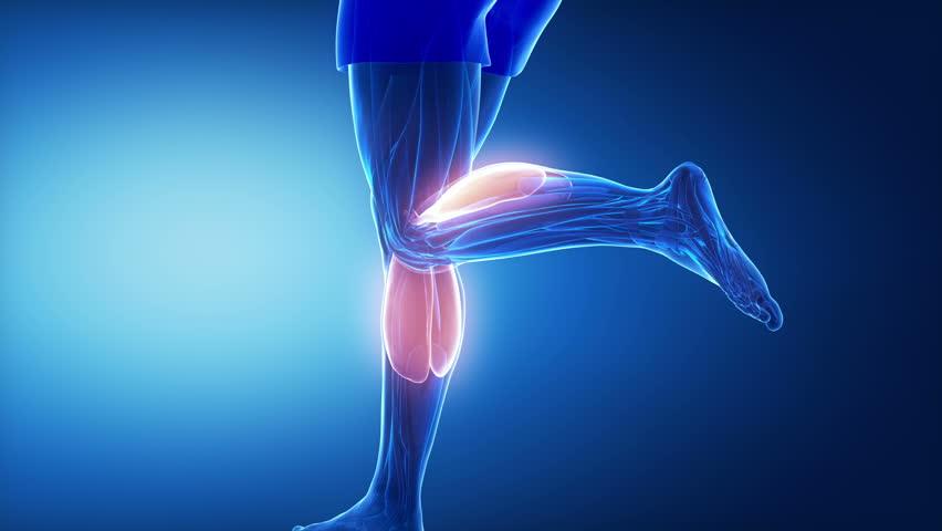 gastrocnemius - leg muscles anatomy animation