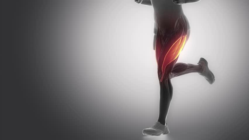 vastus lateralis - leg muscles anatomy animation