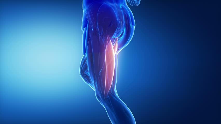 biceps femoris - leg muscles anatomy animation