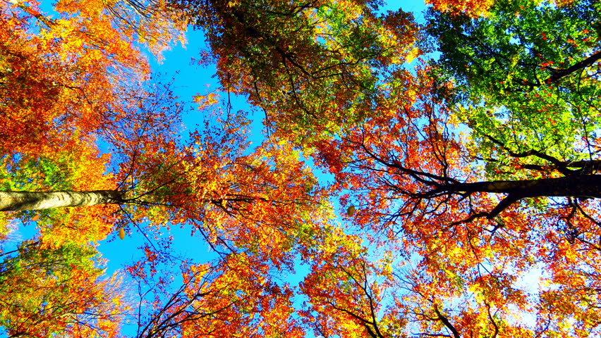 Falling Leaves in Autumn Forest Stock Footage Video (100% Royalty-free)  11130470   Shutterstock