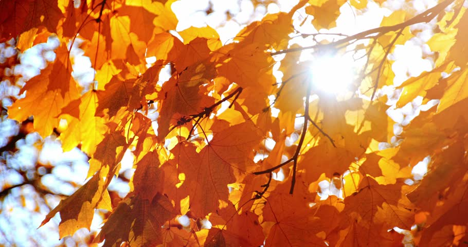Sun Shining Through Fall Leaves Blowing In Breeze Slow Motion Colorful Golden Autumn Leaves Close Up Background 4k Graded From Raw