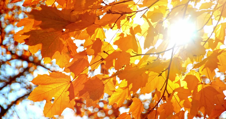 Sun Shining Through Fall Leaves Stock Footage Video 100 Royalty Free 11130683 Shutterstock