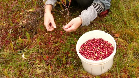 Woman harvests cranberries on the marsh