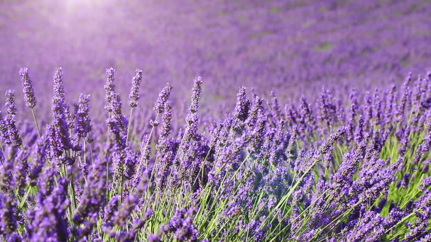 Fields of blooming lavender flowers - Provence, France (dolly shot)   Shutterstock HD Video #11137778