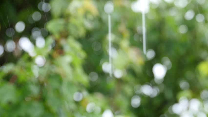 Beautiful green leafs of a maple tree during a spring rainstorm with rain falling on them #11208146