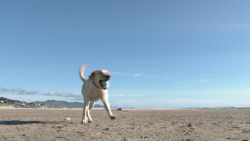 Happy yellow labrador enjoying beautiful day playing catch at the beach on the Oregon Coast.