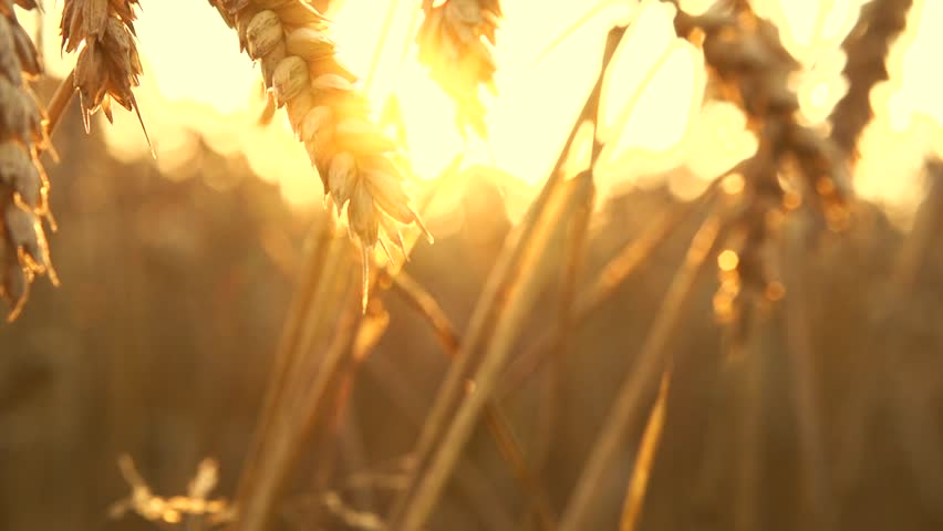Wheat field in sunset. Ears of wheat close up. Harvest and harvesting concept. Field of golden wheat swaying. Nature landscape. Peaceful scene. Slow motion 240 fps, HD 1080p. High speed camera  #11236622