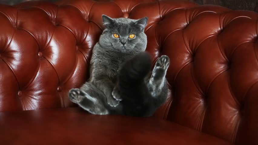 British cat on a leather sofa Chesterfield | Shutterstock HD Video #11274149