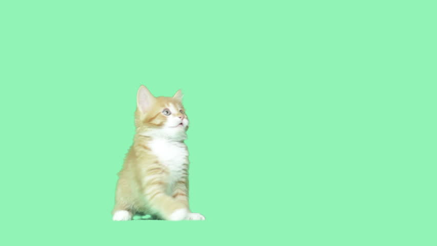 Kitty waving paws on a green screen