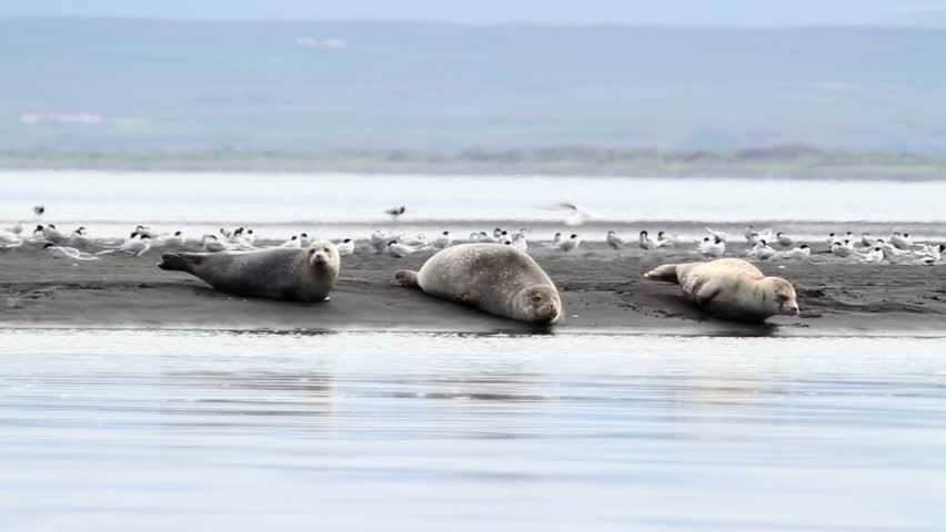 Iceland white Seals on the shore 