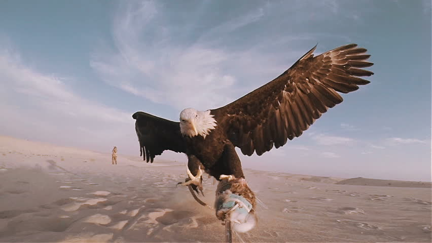 Slow motion bald eagle catching lure in the desert 100 fps #11368379