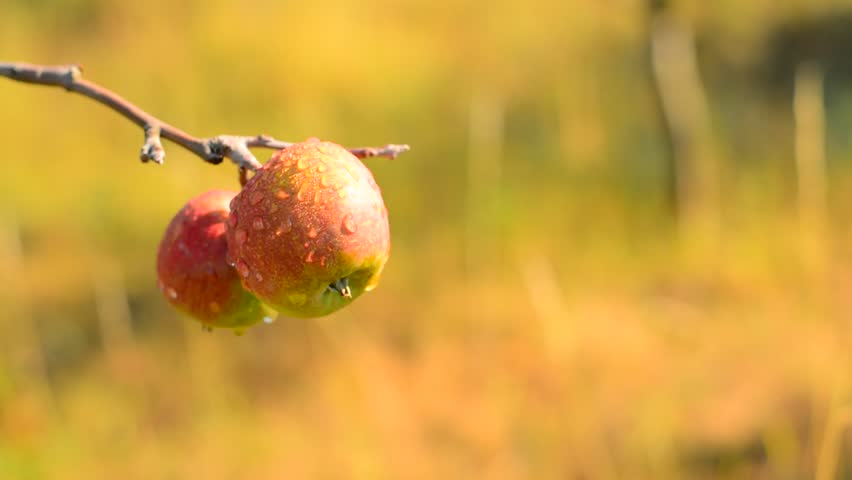 Apple on tree with raindrops. Shallow depth of field.