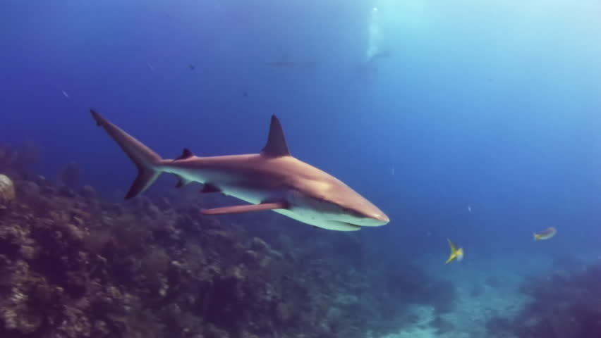 Shark on a reef in search of food. Underwater world of the Bahamas. Diving on feeding of sharks.