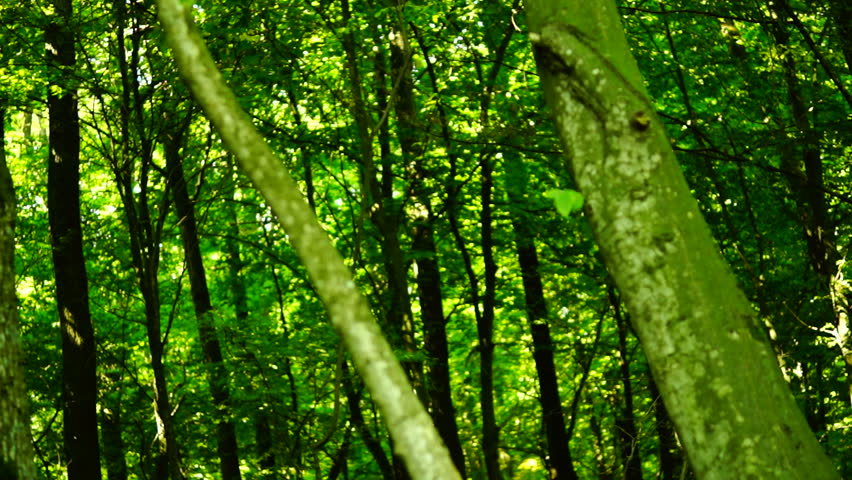 Woods forest, trees background, green nature landscape,sunbeams, august, pan | Shutterstock HD Video #11553881